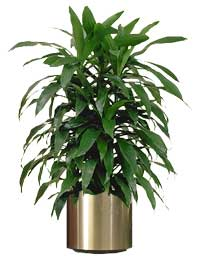 how to care for a dracaena plant