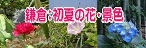 鎌倉初夏の花・景色