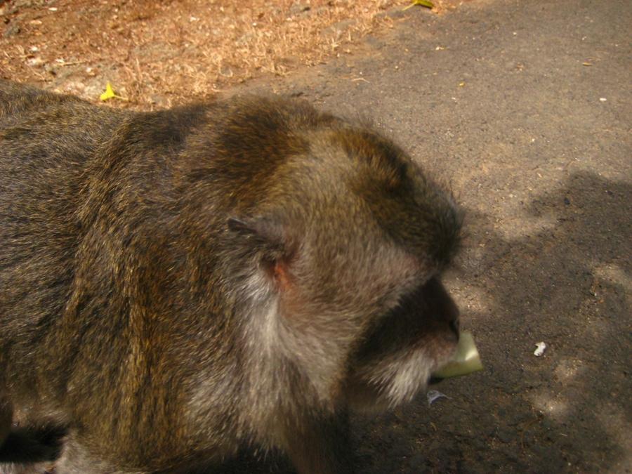 오이를 입에 문 원숭이