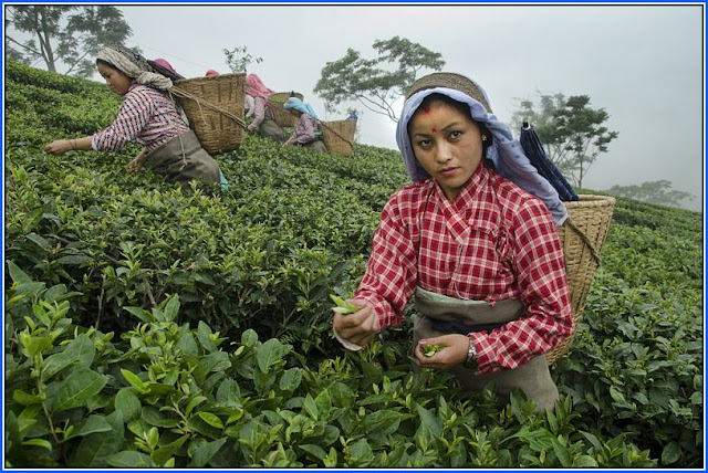 Darjeeling tea pluckers