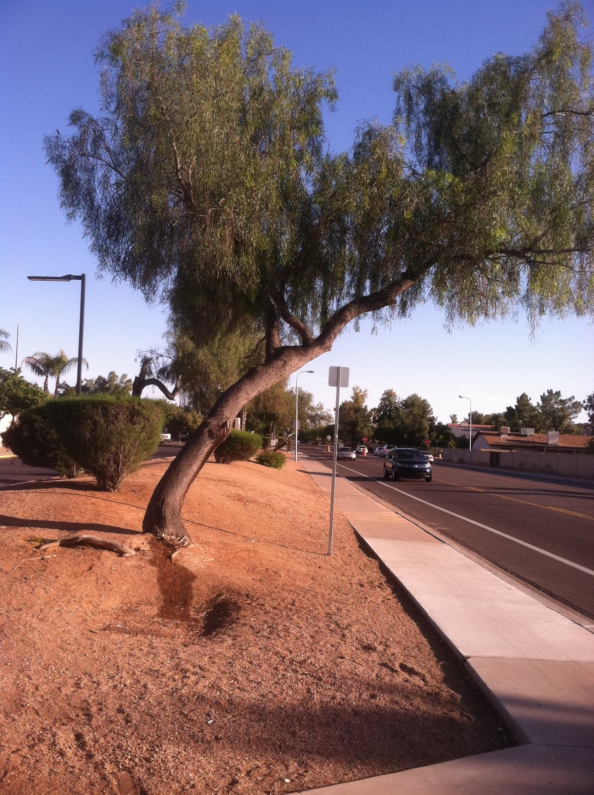 Arizona Landscaping Trees To Avoid In Phoenix Landscapes Entry 1
