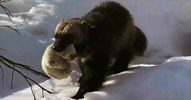 Wild Wolverine Mom Filmed Caring For Babies For The First Time