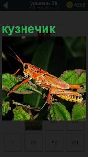 По листьям скачет оранжевый кузнечик, шевеля своими усами и перебирая лапками