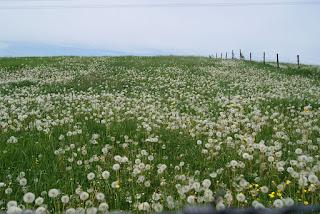 Ein Feld voller Pusteblumen