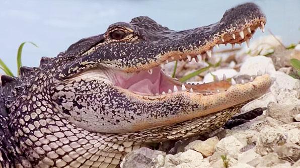 Conéctate con el cocodrilo 'Ramón' (Video)