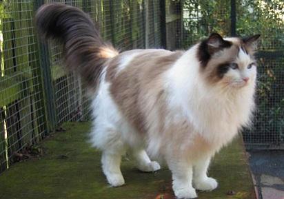 Kucing Persia Garfield abu kawin6