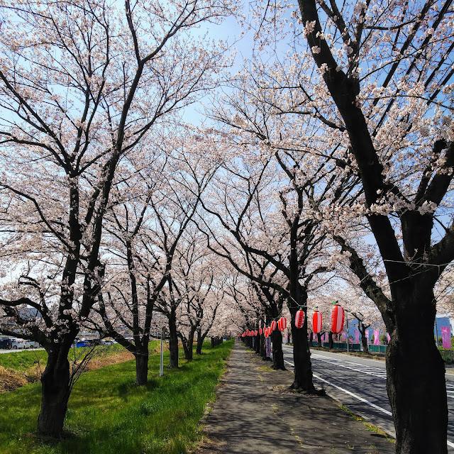 清久さくら通り 桜