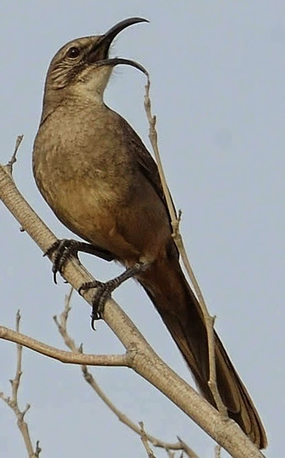 California Thrasher song