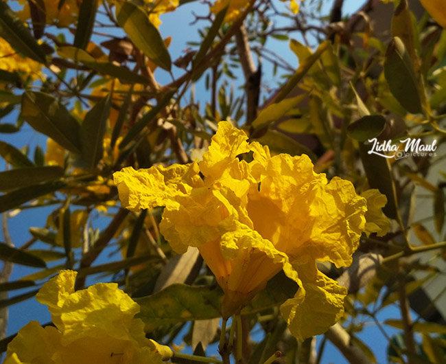 Tabebuya - Sakura Tropis