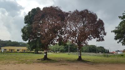 Mango tree, Lautech