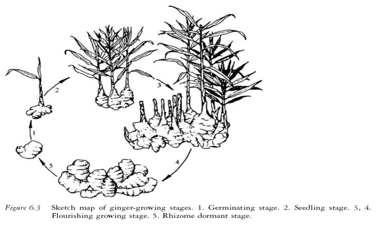 Kumpulan Gambar Sketsa Tanaman Jahe