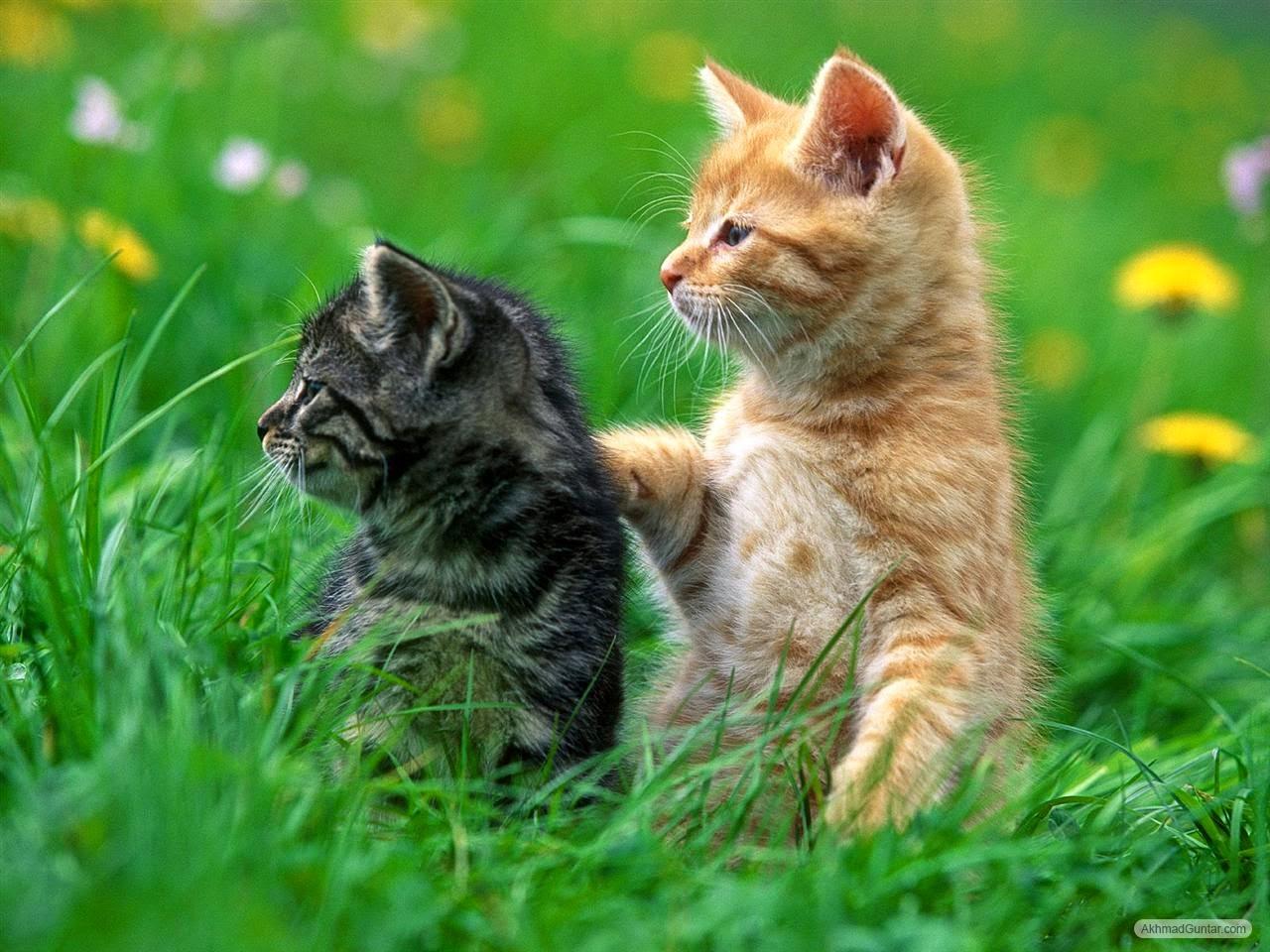 Anka Andika Blogspot Cara Mengawinkan Kucing