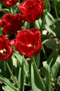 Tulipes frangées - Tulipa Louvre - Tulipe louvre - Tulipe frangée louvre