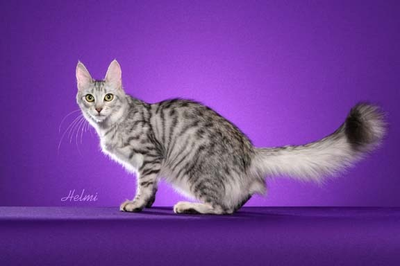 Turkish Angora Pictures | Cat Chit Chat
