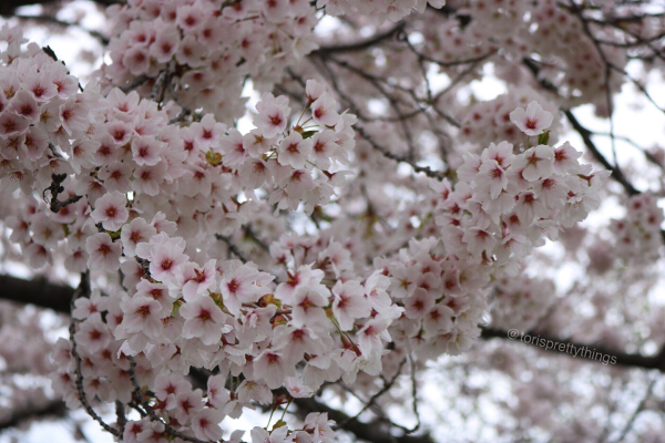 Cherry Blossom Tree - High Park, Toronto - Tori's Pretty Things Blog