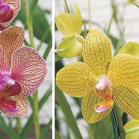 ►dicas para cuidar melhor das suas orquídeas, confira ...