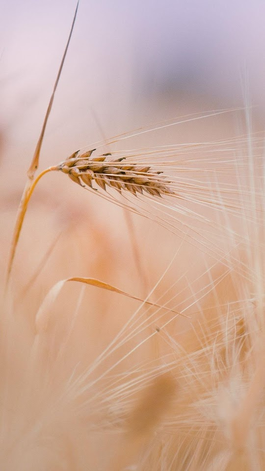Wheat In Field  Galaxy Note HD Wallpaper