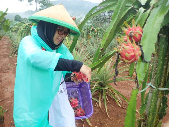 panen buah naga, asuransi syariah prudential indonesia