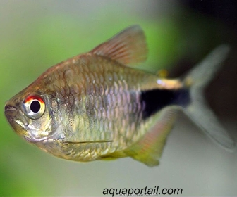 Black Wedge Tetra, Hemigrammus Pulcher (Ladiges, 1938)
