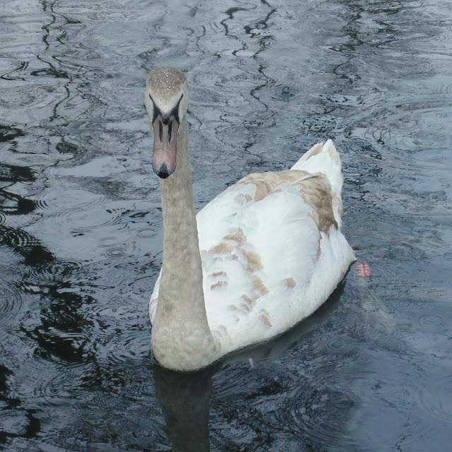 Lister park, swan