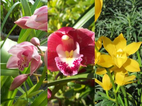 orchidee d exterieur