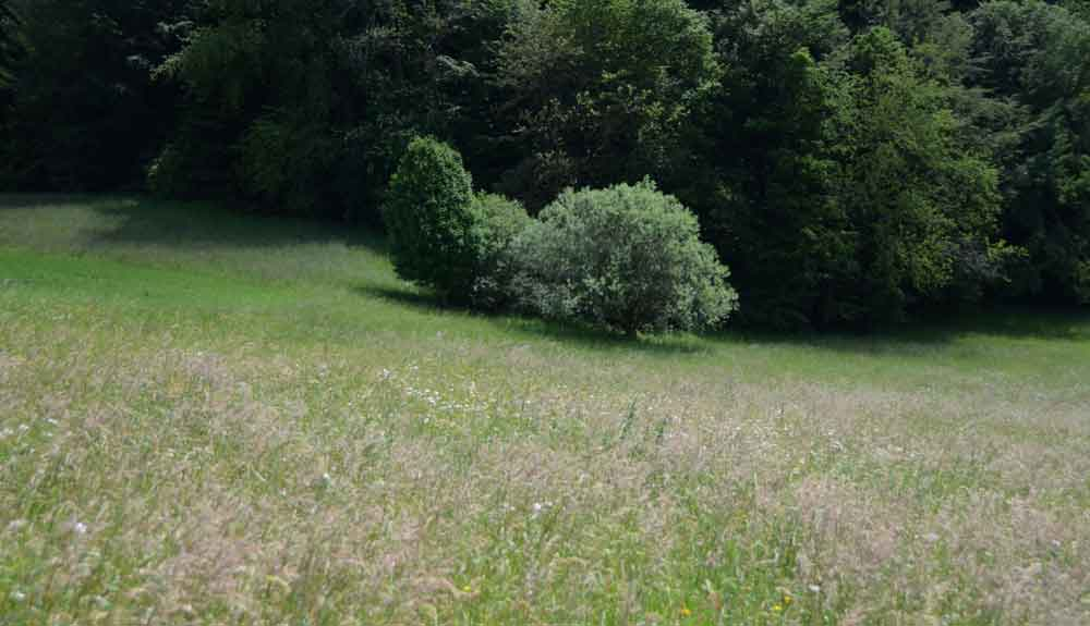Weide am Waldrand