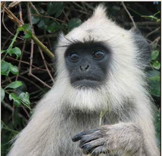 Common Langur, Semnopithecus entellus thersites, kmtr