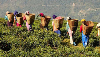 Tea Garden and its workers in Darjeeling hills