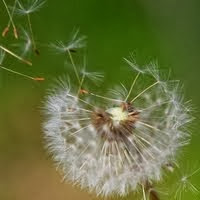 Dandelion Enchantment