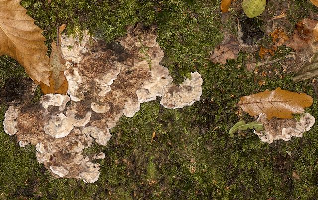 Hydnellum spongiosipes, Velvet Tooth.  Ashdown Forest, 15 October 2017