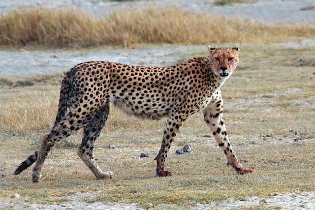 cheetah-list-trend