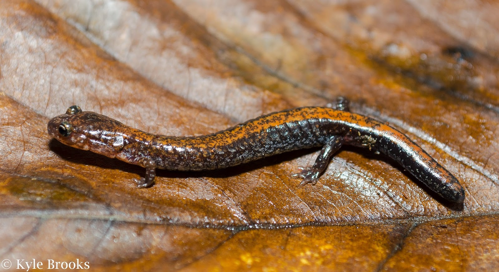 Red-Backed Salamander missing tail