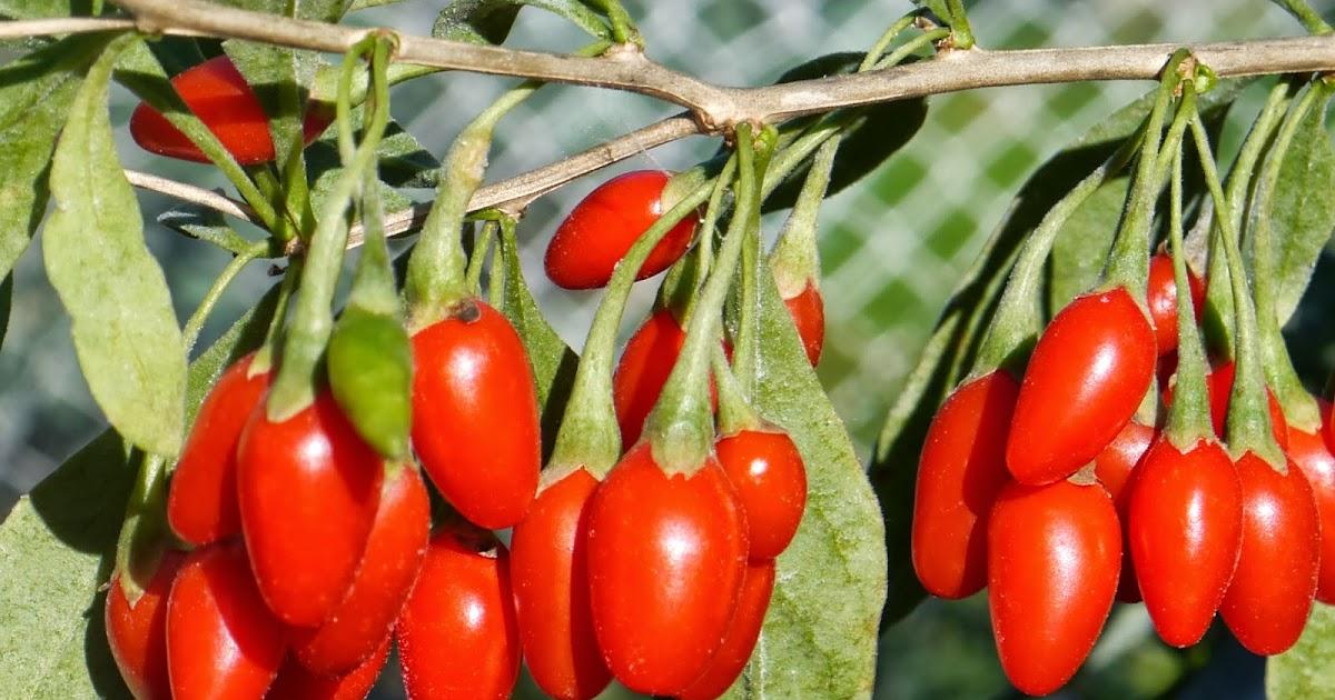 Gotuj zdrowo guten appetit jagody goji owoce wiecznej for Jagody goji w tabletkach