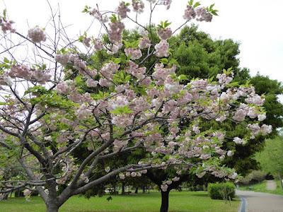 深北緑地公園 4月下旬の桜