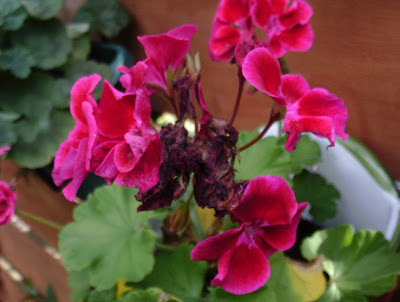 Geranium flower holiday proof your garden Green Fingered Blog