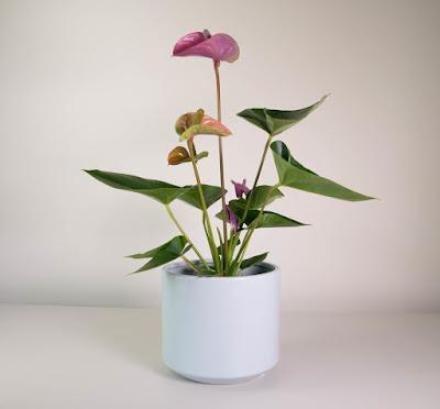 Jenis tanaman anthurium untuk taman kering