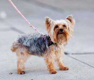 A tiny brown and gray Scottie dog on an orange leash, standing on the sidewalk.