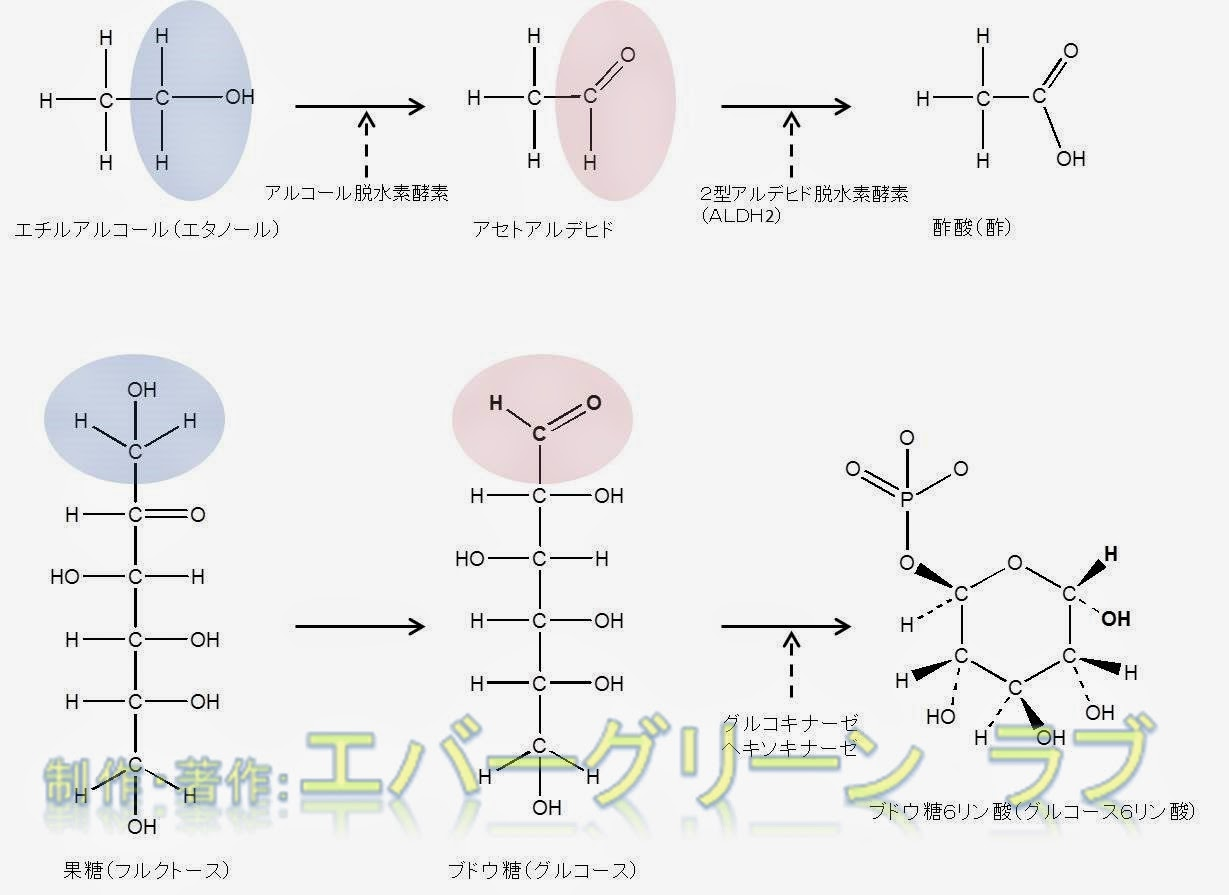 お酒に強い アルコールに弱い 遺伝 肝臓 ペルオキシソーム カタラーゼ、滑面小胞体 シトクロムP-450依存性モノオキシゲナーゼ MEOS シトクロムP-450 2E1 ブドウ糖、果糖、アルコール、アルデヒド、酢酸、ブドウ糖6リン酸 構造 二日酔いにならない 予防 飲みすぎ グルコキナーゼ ヘキソキナーゼ エチルアルコール アルコール脱水素酵素 アルコールデヒドロゲナーゼ ALDH2 アルデヒド脱水素酵素 酢酸 酢 グルコース6リン酸 化学式 アルコールの生化学