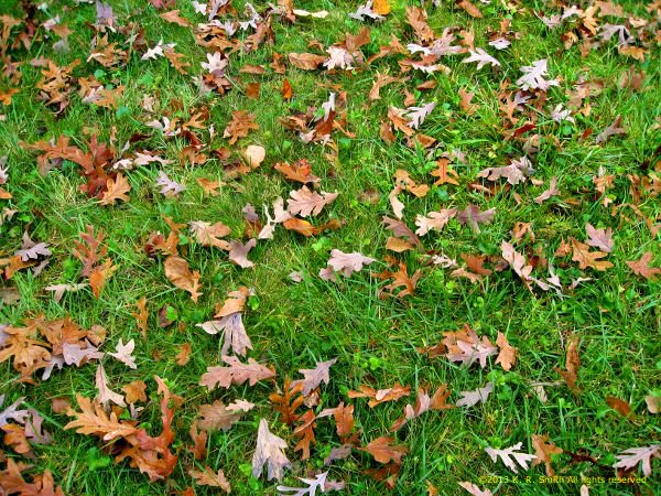 Image - autumn_whispers.jpg - Leaves in my yard ©2013 K. R. Smith