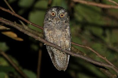 Sangihe scops Owl