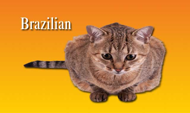 Brazilian Cat Breed Information