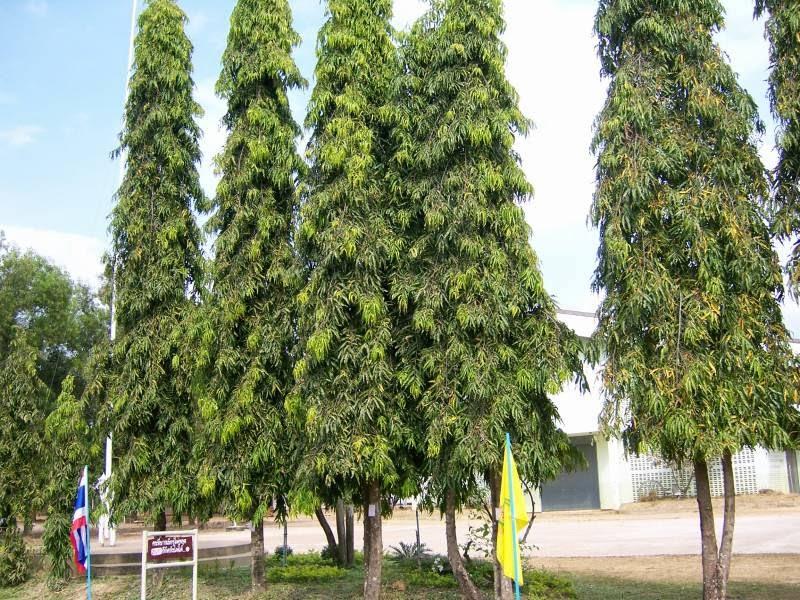 Image result for अशोक वृक्ष  की छाल