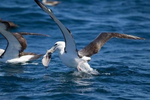 Albatros Kuşu Özellikleri