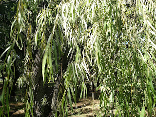 Sauce (willow) - Salix humboltiana - colombia andes tree arbol leaves bark