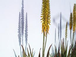Floare Aloe-Vera