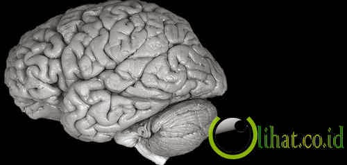 Otak manusia berwarna abu-abu