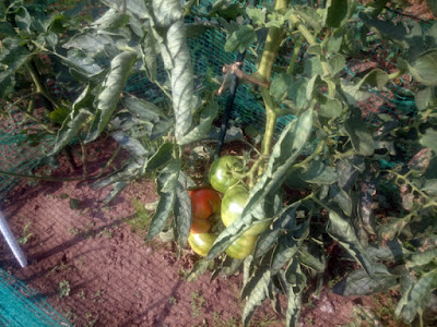 昨年落ちた種から育った大玉トマト