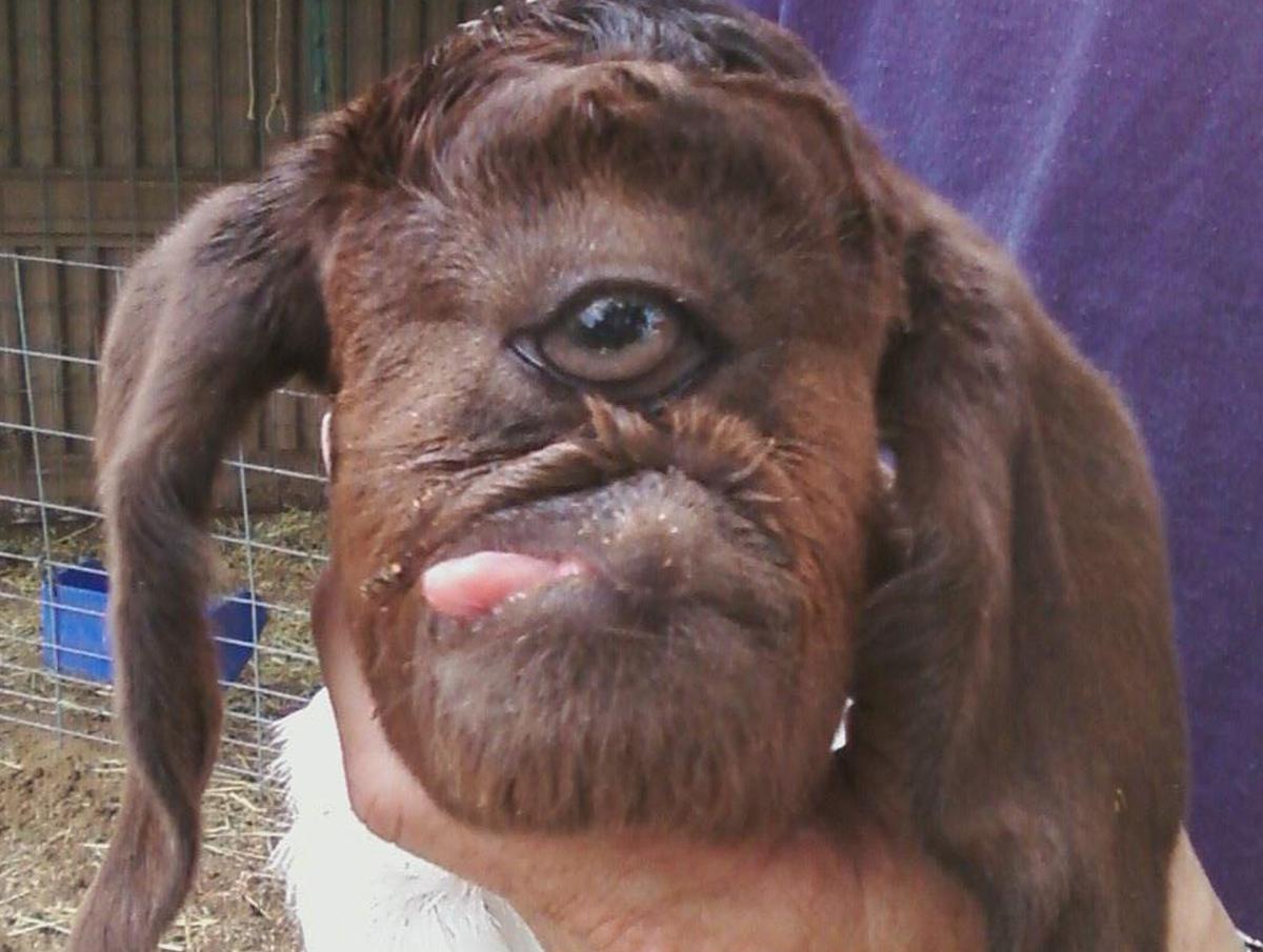 Italian Florence: Nerdilista Neda: Embrace The Weird: Cyclops Goat