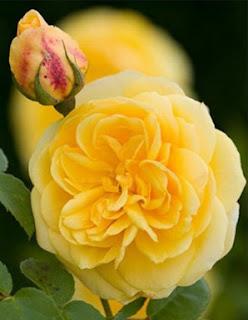 gambar bunga mawar indah 35