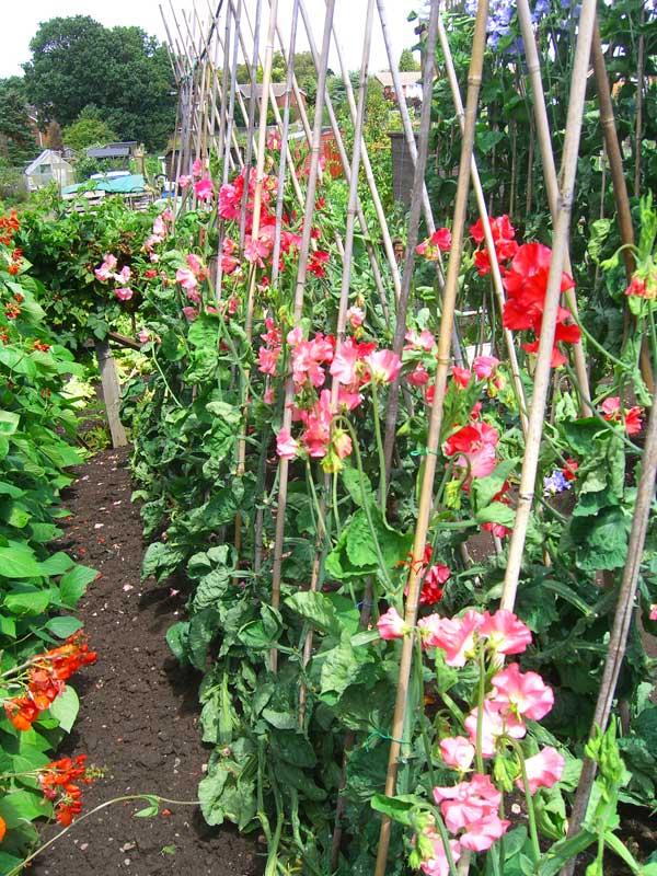 Allotment Garden How I Grow Exhibition Sweet Peas